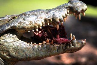 También se reporta que al menos 28 cocodrilos han sido atrapados en terr...