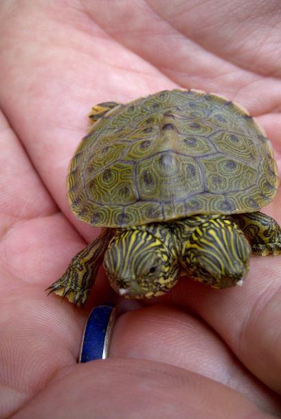 Esta diminuta tortuga de dos cabezas es la nueva integrante del zoológic...