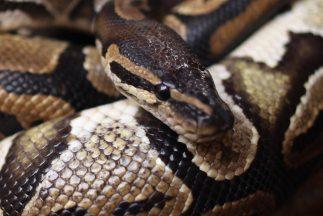 La serpiente había rodeado al bebé para controlarlo e intentaba comerle...