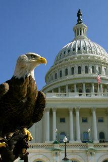 Se calcula que esta rapaz, conocida también como águila americana o águi...