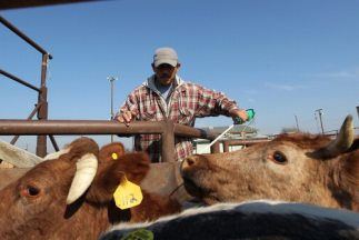 La falta de trabajadores del campo en California ha obligado a los granj...