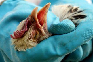 Milones de gallinas serán sacrificadas en Estados Unidos por un brote de...