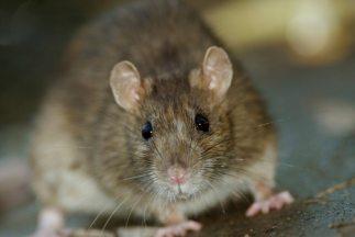 Una hombre fue atacado por una rata en el metro de NYC