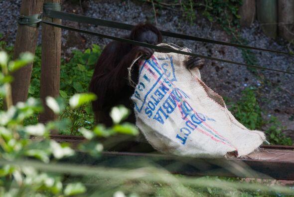 A los orangutanes esto les causa curiosidad y juegan con los sacos.
