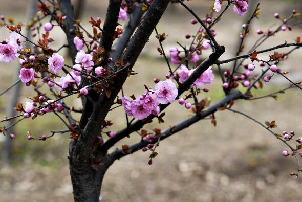El mismo listón rojo se coloca en árboles frutales para evitar que el pr...