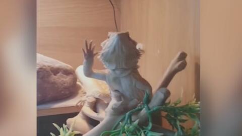 Un reptil se vuelve viral en Facebook por saludar a su dueño con la mano