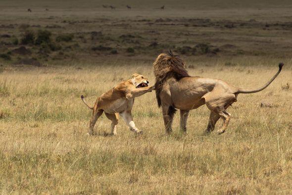 Pasado un tiempo, la leona y el león parecieron tranquilizarse lo...