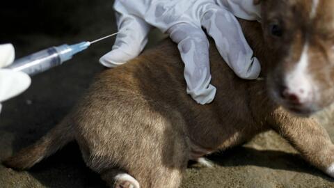 Realizan jornada de vacunación para animales en Kendall tras alerta sobr...