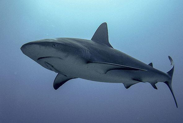 Cada año millones de tiburones son sacrificados en el mundo enter...
