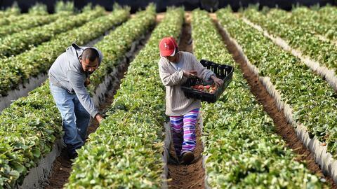 El campo estadounidense necesita de la mano de obra de los campesinos in...