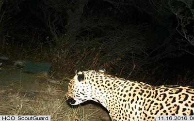 Nueva cifra récord de manatíes en Florida Jaguar1.jpg