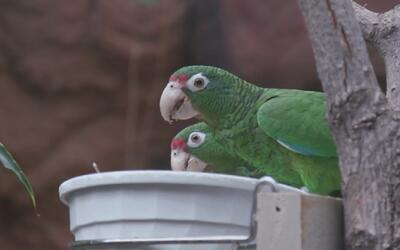 Las primeras cotorras boricuas fuera de Puerto Rico llegaron al Zoológic...