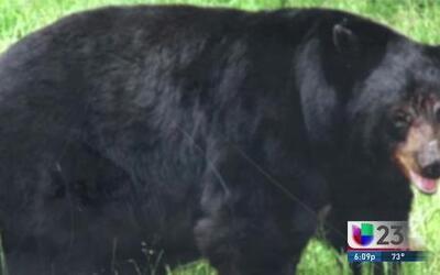 Un oso causa mortal accidente en los Everglades