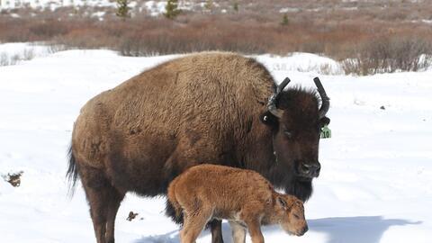 Canadá bison.Adam Ziervogel.jpg