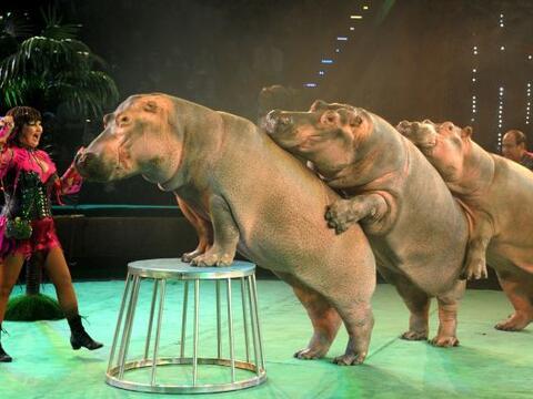 Estos hipopótamos realizan un acto en el circo en Bielorusia.