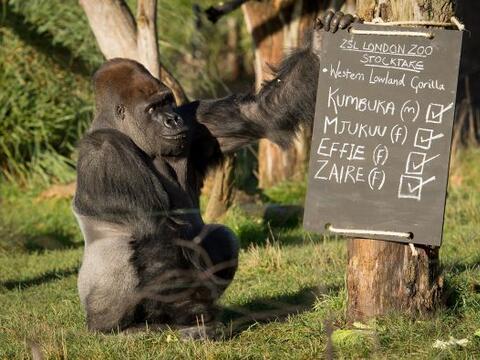 Kumbuka , un gorila de espalda plateada, toca un pizarrón durante una se...
