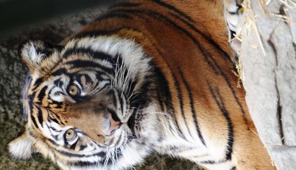 Baha, famale tiger