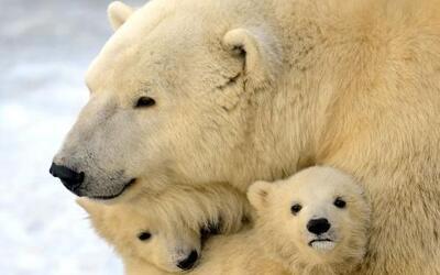 El 27 de Febrero se observa el Día Internacional del Oso Polar .  Los os...