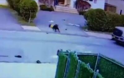 'Nueva York en un Minuto': autoridades atrapan al perro pitbull que atac...