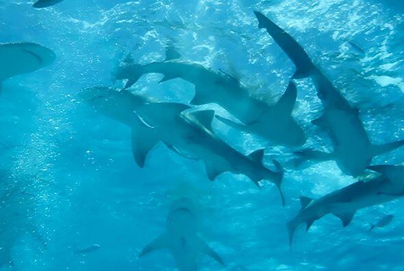 Los tiburones tienen una anatomía muy particular y han sido punto...