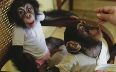 Biología del Parque Zoológico Nacional de Cuba adoptó dos chimpancés par...