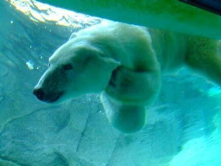 Nanuka, una de las osas polares ´mas longevas del mundo, murió en el Zoo...
