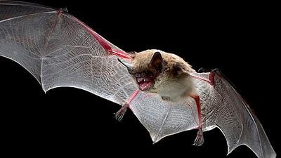 El murciélago es una transmisor del virus de la rabia.