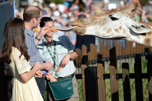 Con precaución alimentaron a la jirafa.