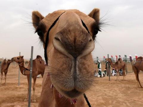 Los camellos posan antes de competir en el festival del Jeque Sultán Bin...