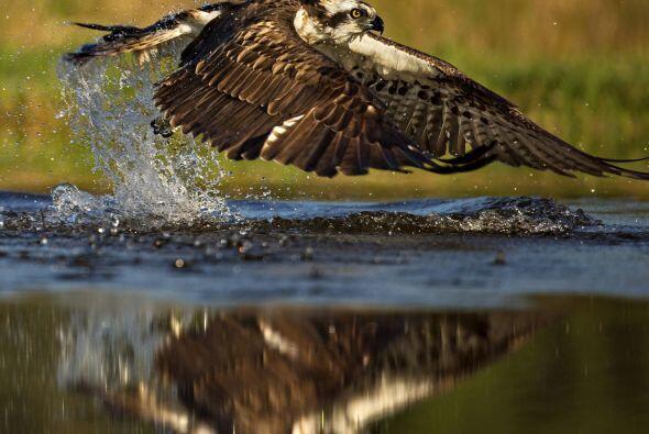 En un despliegue impresionante de grandeza, esta águila pescadora anda e...