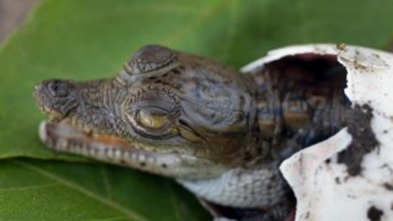 Cocodrilo americano en el Parque Nacional Everglades, su prinicipal hábi...
