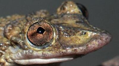 Corythomantis greeningi. Su prominente labio superior muestra cicatrizac...