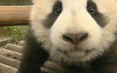 Los pandas de este centro en China están listos para divertir a sus visi...