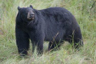 Oso negro en bosque de Florida. Crédito: US Forest Service - Southern Re...