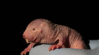 Las ratas-mole desnudas han evolucionado en un entorno tan diferente al...