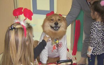 Así es cómo este superhéroe canino ayuda a niños enfermos en Miami