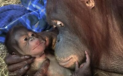Nace el primer orangután de borneo en 25 años en el Zoológico Nacional e...