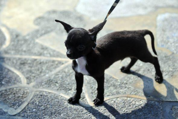 El propietario del perro ganador recibió cinco mil quetzales ($620); el...