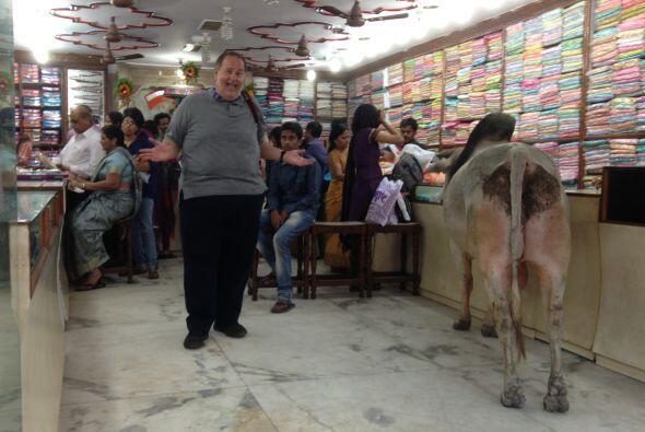 Hay momentos que uno no puede evitar capturar, como esta vaca entre la p...
