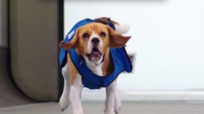 Este hermoso perrito se ha vuelto una sensación en el internet. **Foto c...