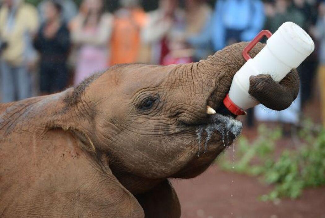 Un bebé elefante huérfano es alimentado en el Parque Nacional de Nairobi.