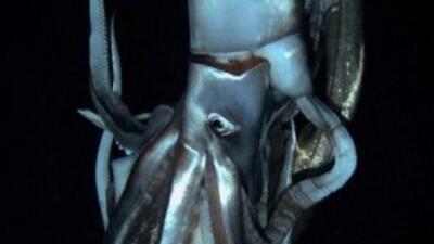 Un calamar gigante fue captado por una televisora japonesa en conjunto c...