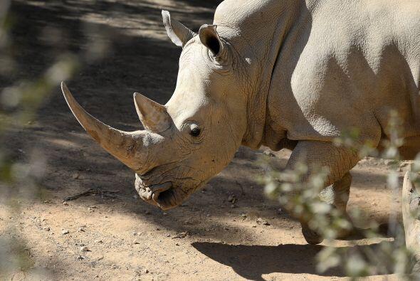 El rinoceronte es un animal muy noble y tranquilo, no le teme a ningún a...