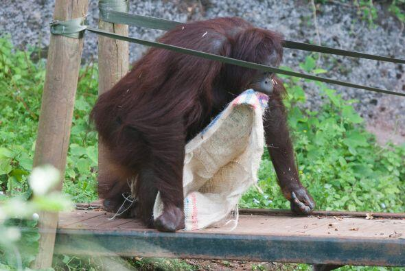 Gambira es parte del zoológico de Paignton en Devon, y al parecer...