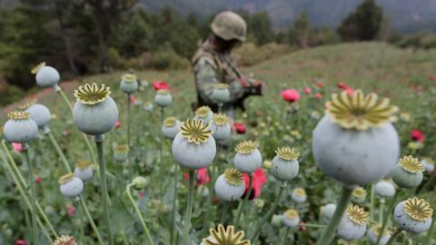 Un soldado en un campo de amapola en Coyuca de Catalán, Guerrero.