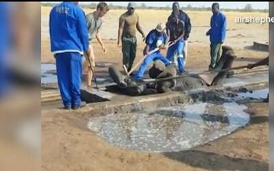 Un elefante fue rescatado de manera milagrosa luego de caer a una zanja