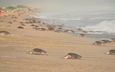 Tortugas en peligro de extinción ponen sus huevos en una playa mexicana