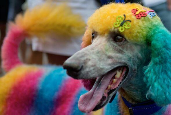 Esto porque los canes también tienen su carnaval, como una fiesta previa...