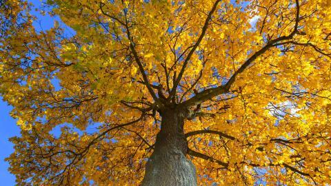 Un árbol con hojas amarillas crece en una ciudad de Alemania