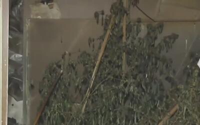 Encuentran un cultivo ilegal de marihuana tras un incendio en una casa m...